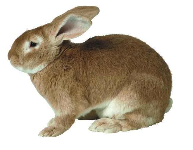 野生灰兔免费下载 野生动物世界的大灰兔