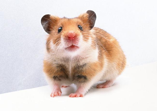 家禽 老鼠 动物 图片