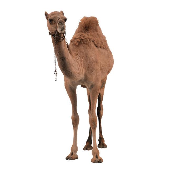 骆驼 家畜 动物 图片