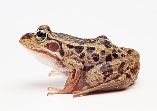 青蛙 爬行动物 动物 图片