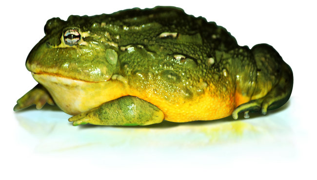 千图网提供精美好看的图片素材免费下载,本次图片作品是关于动植物图片素材,主题是青蛙 爬行动物 动物 图片,编号是950720,格式是jpg,建议使用对应的软件打开,该动植物图片素材大小是878.962 KB,尺寸为2001x1137。 青蛙 爬行动物 动物 图片是由图片设计师傻瓜不傻上传. 浏览本次作品的您可能还对 青蛙 爬行动物 动物 图片