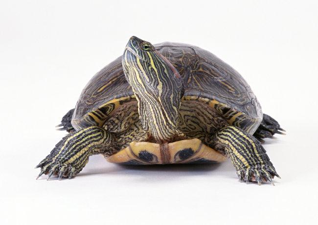 千图网提供精美好看的图片素材免费下载,本次图片作品是关于动植物图片素材,主题是乌龟 爬行动物 动物 图片,编号是950734,格式是jpg,建议使用对应的软件打开件打开,该动植物图片素材大小是744.126 KB,尺寸为2950x2094。 乌龟 爬行动物 动物 图片是由图片设计师傻瓜不傻上传.