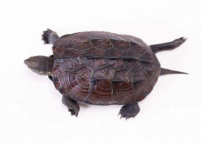 千图网提供精美好看的图片素材免费下载,本次图片作品是关于动植物图片素材,主题是乌龟 爬行动物 动物 图片,编号是952440,格式是jpg,建议使用对应的软件打开件打开,该动植物图片素材大小是647.577 KB,尺寸为2950x2094。 乌龟 爬行动物 动物 图片是由图片设计师傻瓜不傻上传.