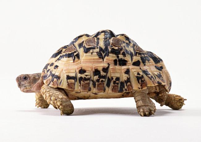 千图网提供精美好看的图片素材免费下载,本次图片作品是关于动植物图片素材,主题是乌龟 爬行动物 动物 图片,编号是952447,格式是jpg,建议使用对应的软件打开件打开,该动植物图片素材大小是621.505 KB,尺寸为2950x2094。 乌龟 爬行动物 动物 图片是由图片设计师傻瓜不傻上传.