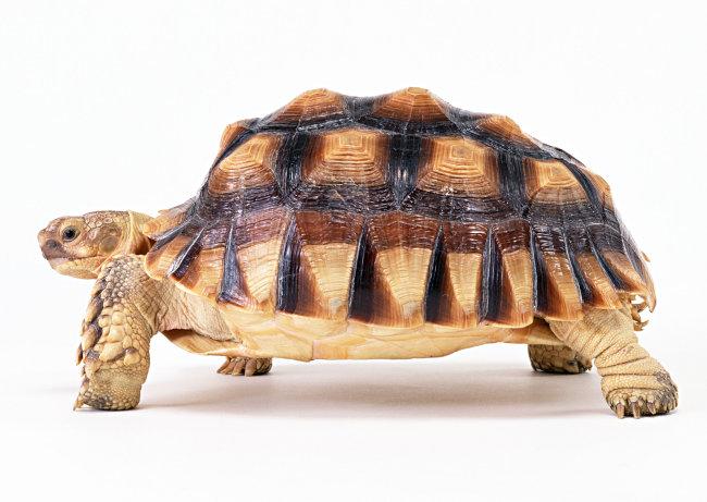 千图网提供精美好看的图片素材免费下载,本次图片作品是关于动植物图片素材,主题是乌龟 爬行动物 动物 图片,编号是952451,格式是jpg,建议使用对应的软件打开件打开,该动植物图片素材大小是821.945 KB,尺寸为2950x2094。 乌龟 爬行动物 动物 图片是由图片设计师傻瓜不傻上传.