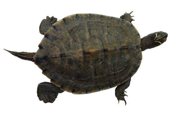 千图网提供精美好看的图片素材免费下载,本次图片作品是关于动植物图片素材,主题是乌龟 爬行动物 动物 图片,编号是952457,格式是jpg,建议使用对应的软件打开件打开,该动植物图片素材大小是1.907 MB,尺寸为3885x2565。 乌龟 爬行动物 动物 图片是由图片设计师傻瓜不傻上传.