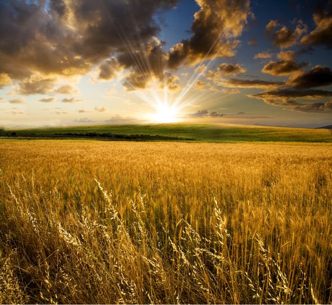 金色麦田 丰收的麦田 秋天的麦田 蓝天 阳光 黄昏 落日 一望无际的