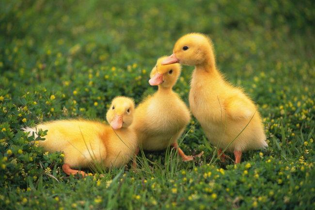 千图网提供精美好看的图片素材免费下载,本次图片作品是关于动植物图片素材,主题是动物 鸭子 剪影 动物图片 动物世界,编号是1001607,格式是jpg,建议使用对应的软件打开,该动植物图片素材大小是2.505 MB,尺寸为3264x2176。 动物 鸭子 剪影 动物图片 动物世界是由图片设计师 傻瓜不傻上传.