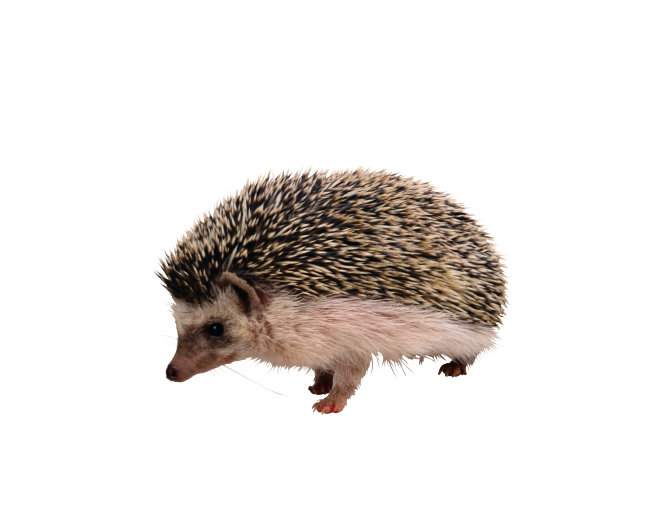 稀有动物 刺猬 动物 动物图片
