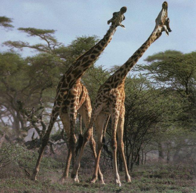 稀有动物 动物 长颈鹿