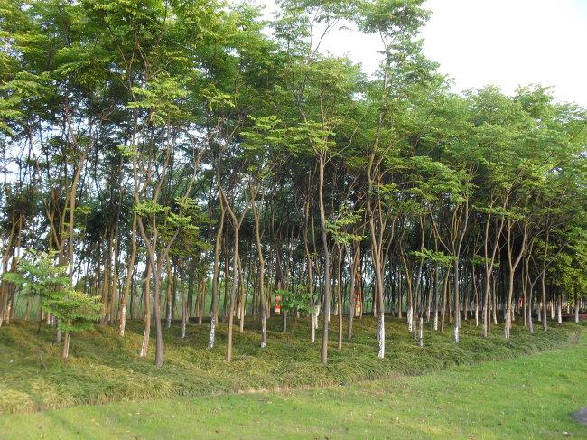 一排排树木简笔画