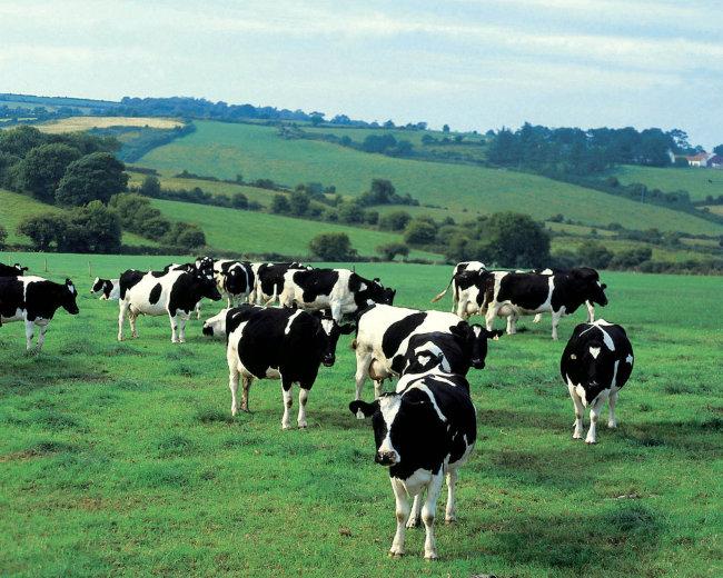 奶牛牧场 草原