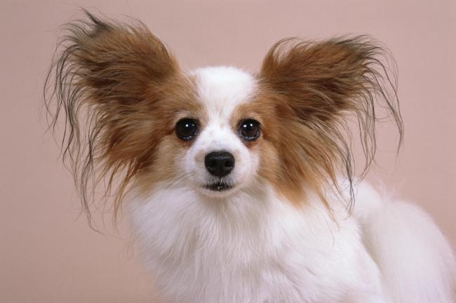 狗狗 宠物狗 可爱动物 小动物 大耳朵狗狗 白毛小狗
