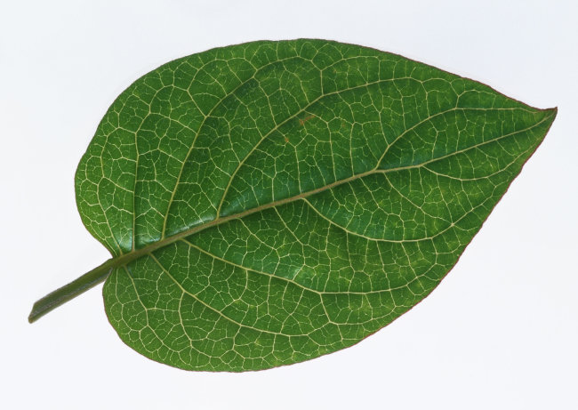 树叶叶子设计图片素材图库下载