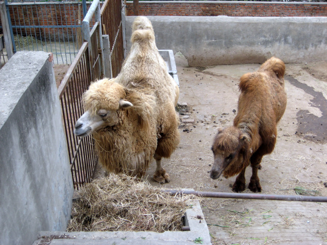 骆驼 骆驼图片 动物 动物园 野生动物