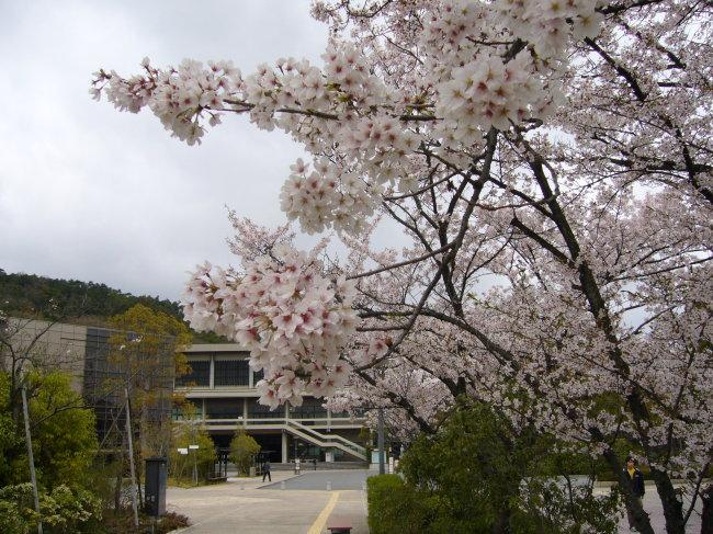 日本樱花免费下载 日本樱花风景图片 校园植物花卉