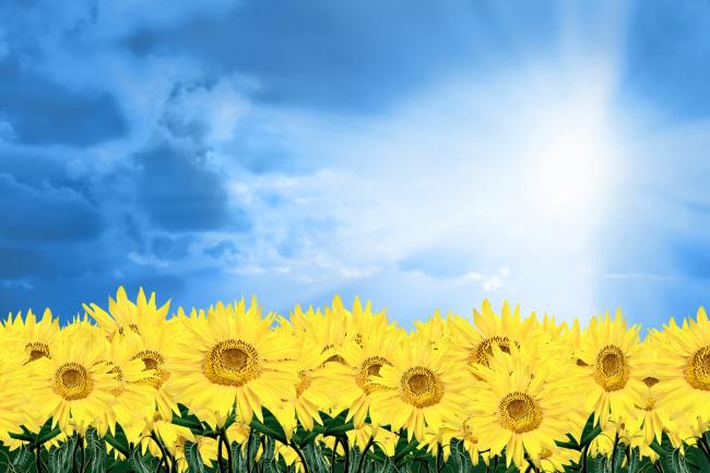向日葵 向日葵卡通图片