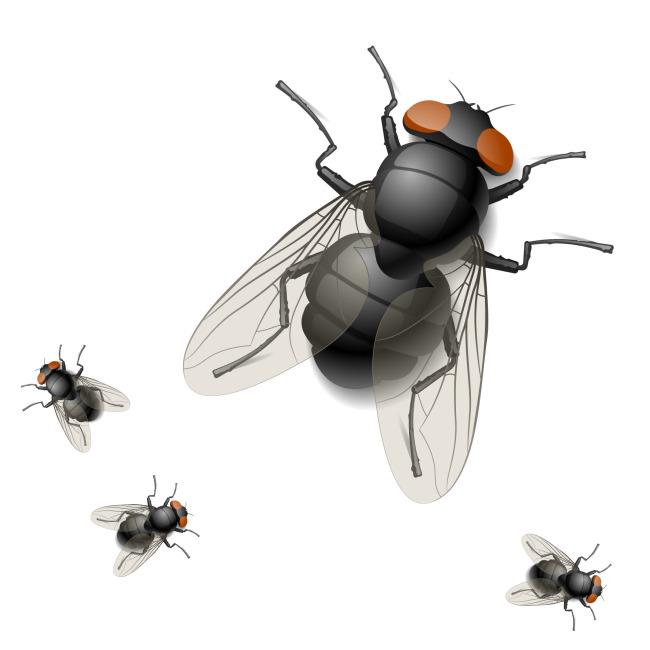 写实动物苍蝇