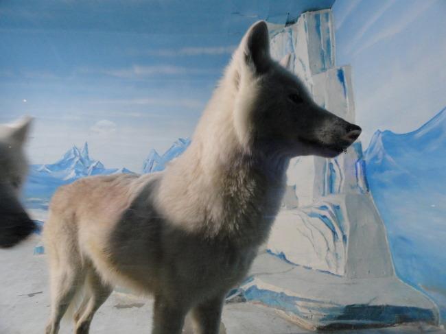 看北极狼免费下载 北极狼 北极生物 有野心的动物