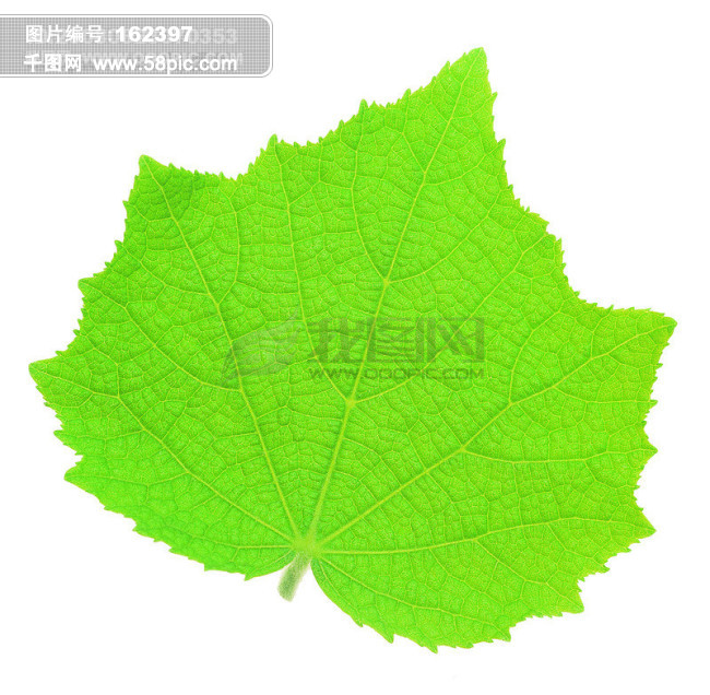 树 叶子 标本 叶脉 落叶 枫叶 绿叶 自然 叶形 枯叶