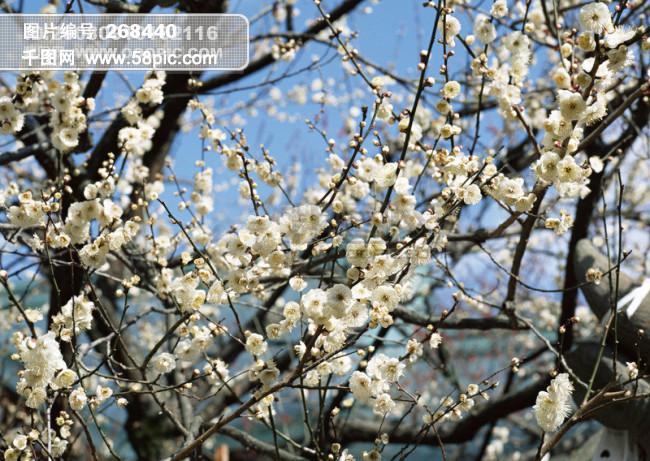 樱花树枝唯美手绘图