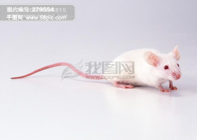 小动物 动物世界 老鼠