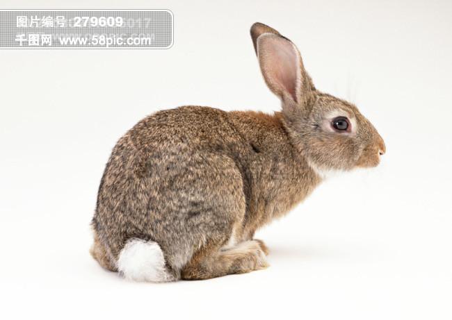 小动物 动物世界 兔子 可爱 灰兔