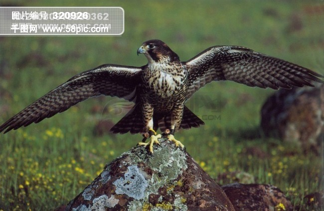 千图网提供精美好看的图片素材免费下载,本次图片作品是关于动植物图片素材,主题是旅鸟 老鹰 飞翔 动物 飞行 展翅 翱翔 广告素材大辞典,编号是320926,格式是jpg,建议使用对应的软件打开件打开,该动植物图片素材大小是3.782 MB,尺寸为3572x2334。 旅鸟 老鹰 飞翔 动物 飞行 展翅 翱翔 广告素材大辞典是由图片设计师woshixiaocao上传.