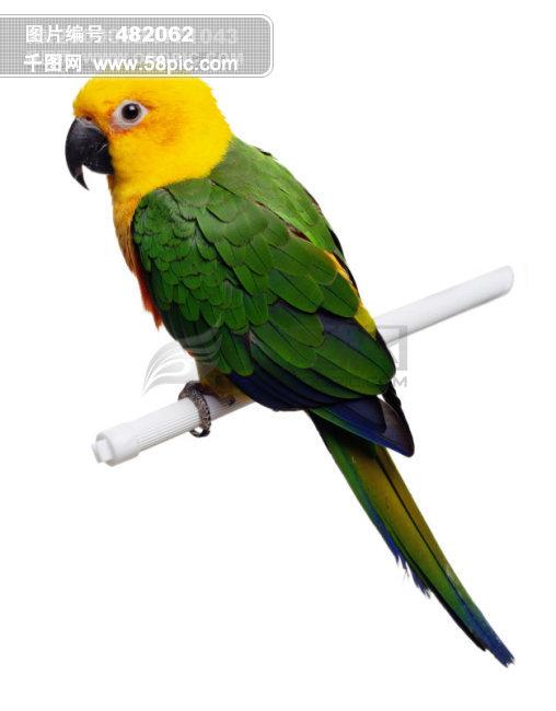 鹦鹉图片素材免费下载 千图网www58piccom