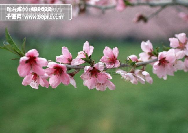 千图网提供精美好看的图片素材免费下载,本次图片作品是关于自然/风景图片素材,主题是春天花朵 花朵图片 桃花 李花 杏花 春暖花朵 桃花林 ,编号是499622,格式是jpg,建议使用对应的软件打开件打开,该自然/风景图片素材大小是491.732 KB,尺寸为2803x1989。 春天花朵 花朵图片 桃花 李花 杏花 春暖花朵 桃花林 是由图片设计师会者定离.