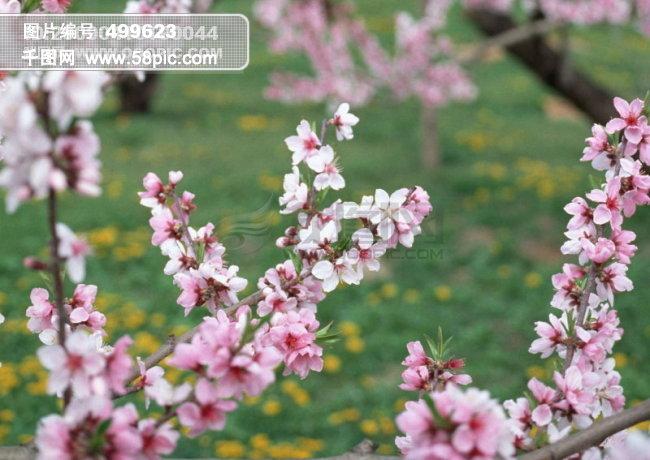 千图网提供精美好看的图片素材免费下载,本次图片作品是关于自然/风景图片素材,主题是春天花朵 花朵图片 桃花 李花 杏花 春暖花朵 桃花林 桃花盛开 李花盛开 花卉 植物 春天风景 高清图片素材,编号是499623,格式是jpg,建议使用对应的软件打开件打开,该自然/风景图片素材大小是467.