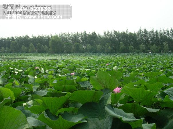 荷花塘风景图片