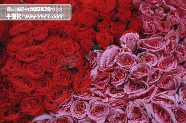 999朵玫瑰图片  玫瑰图片
