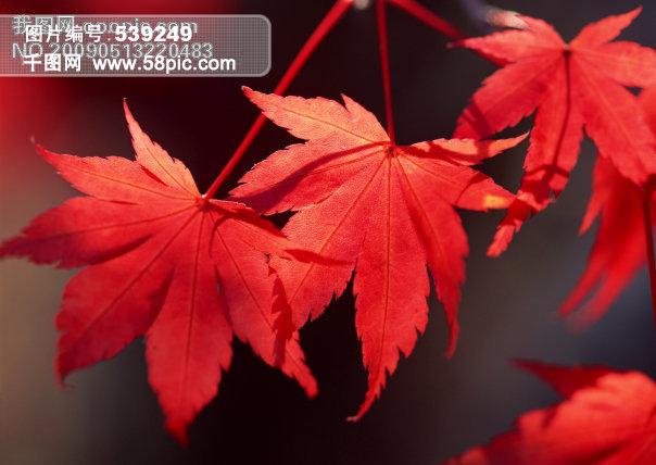 枫叶图片 枫叶的图片 卡通枫叶图片 一片枫叶的图片 枫叶风景图片图片