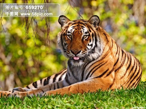 老虎卡通#老虎封面#老虎机#老虎的图片#摄影图#生物世界#野生动物