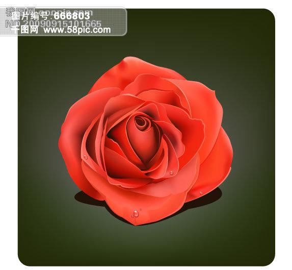 红色玫瑰花手绘插画
